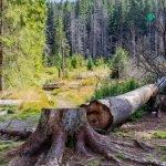 Abattage d'un arbre mort : les risques à savoir