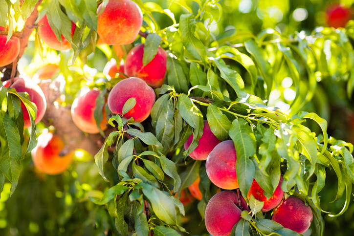 Arbres fruitiers - Émondage SBP