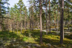 Woodland with pine trees in summer