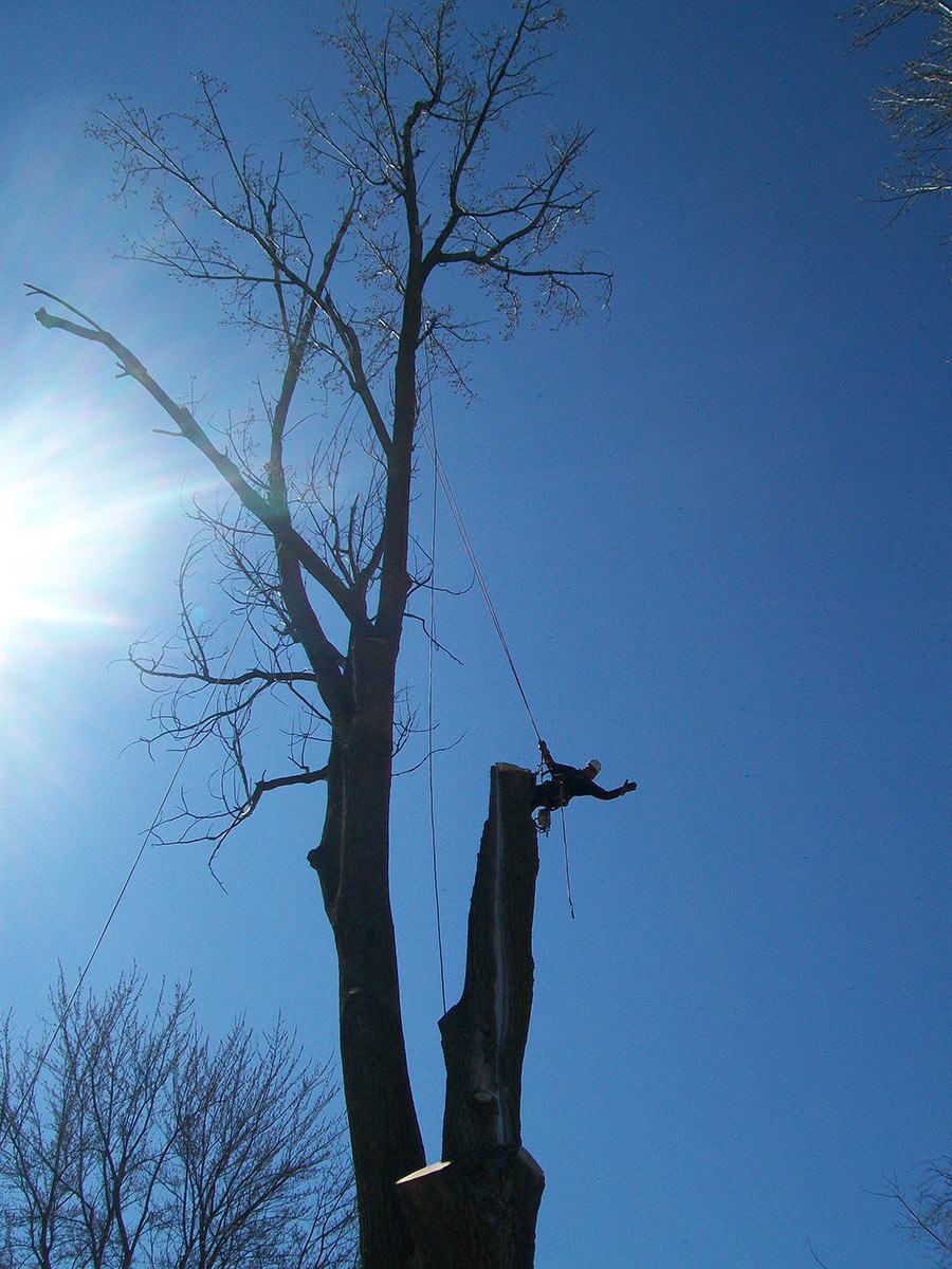 Abattage d'arbre avec arboriste grimpeur