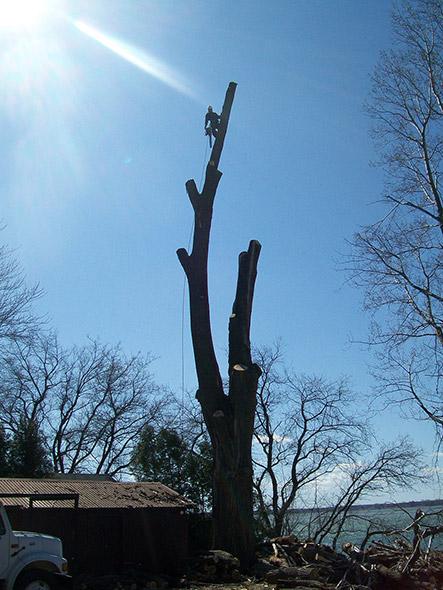 Abattage d'arbre et essouchement