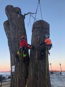 abattage d'une gros arbre