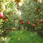 Entretien d'un arbre fruitier - Émondage SBP