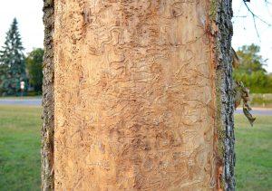 Traitement au TreeAzin - Émondage SBP