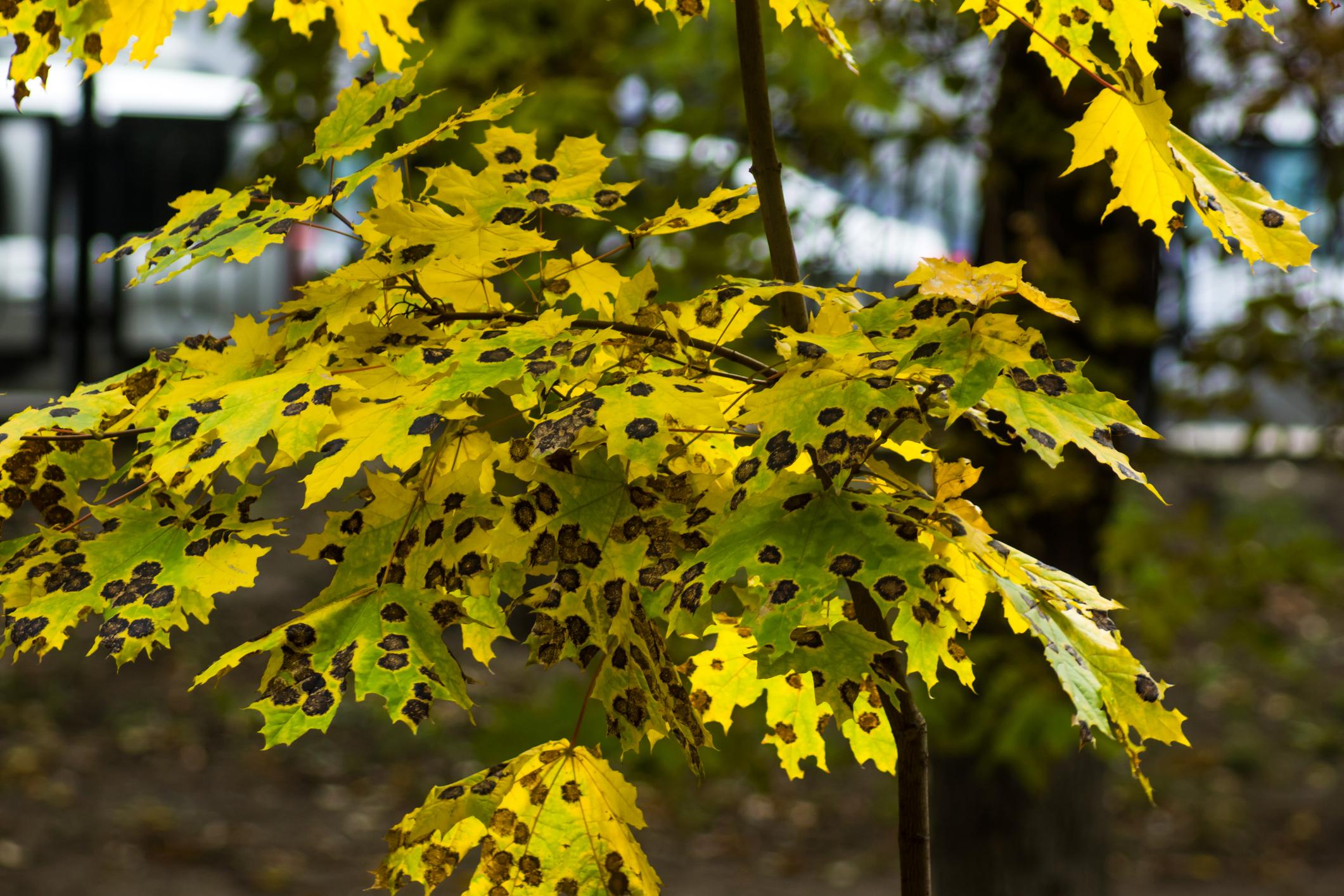maladie des arbres - Émondage SBP